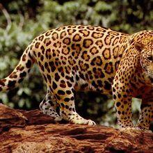 FA-Jaguar.jpg