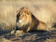 FA-Lion.01