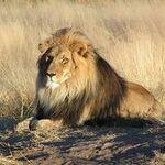 FA-Lion.01.jpg