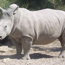 FA-Rhinocéros.01.jpg