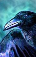 Animal raven-0