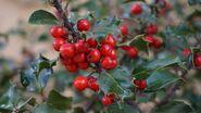 Holly-tree-1030595 1280