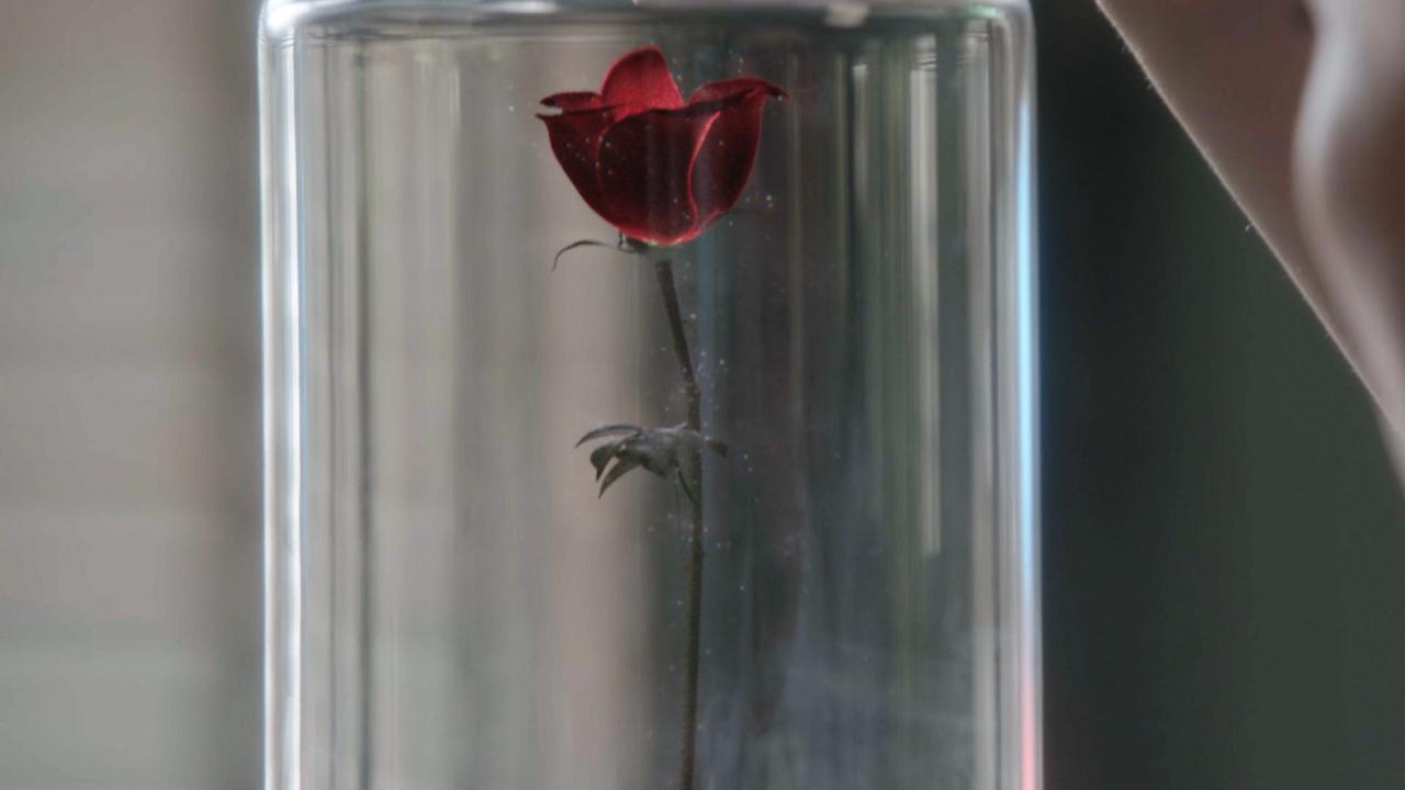 Rose enchantée