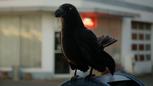 6x07 corneille corbeau corvidé oiseau noir messager mini.png