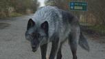 4x19 loup Massachusetts apeuré.png