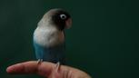 4x12 oiseau perruche bleue doigt.png