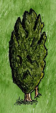 Yew Tree(branch).jpg
