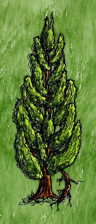 Lombardy Poplar Tree(branch).jpg