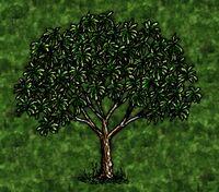 Wild Mango Tree