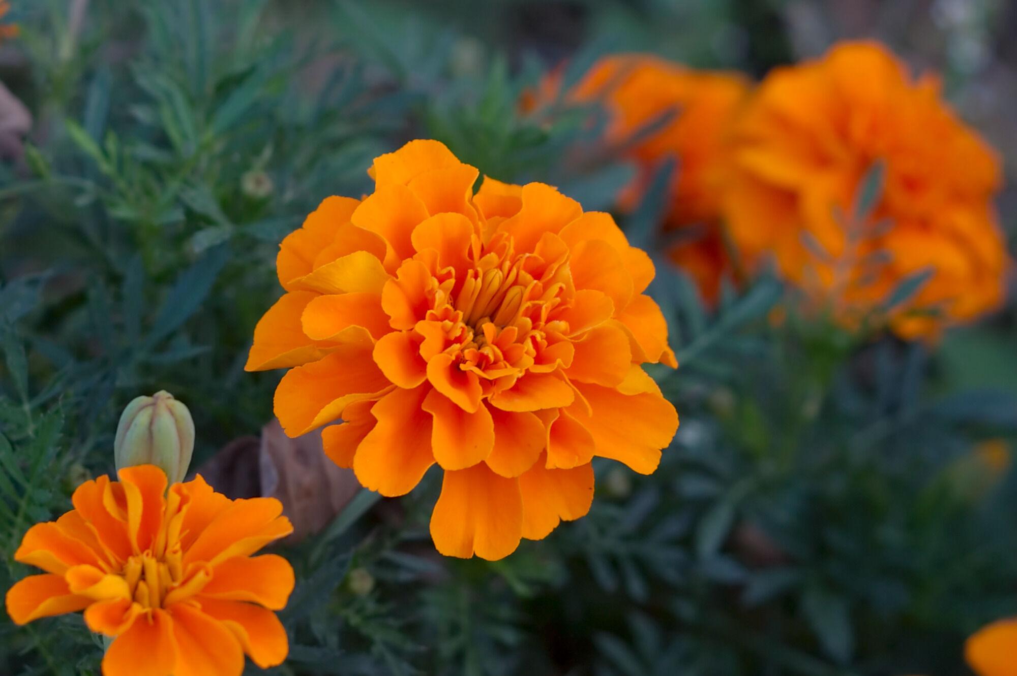 thumb<Eine Studentenblume, in Japan aus der englischen Sprache entlehnt Marigold genannt.