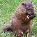 Real Life Groundhog.png