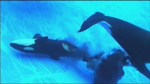 シャチの赤ちゃん誕生 名古屋港水族館で初-0