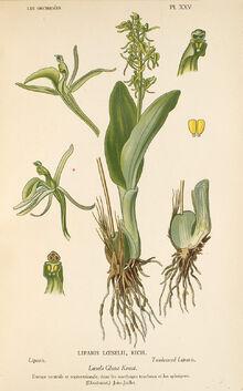 Liparis loeselii plate.jpg