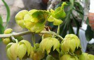 Catasetum albuquerque