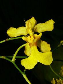 Oncidium ansiferum.jpg