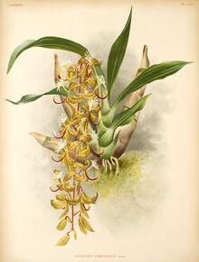 Cycnoches peruvianum plate.jpg