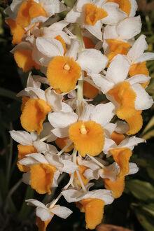 Dendrobium thyrsiflorum.jpg
