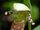 Cypripedium × alaskanum