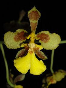 Oncidium cajamarcae.jpg