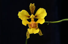 Oncidium chrysopteranthum.jpg