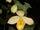 Cypripedium molle