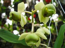 Catasetum albovirens.jpg
