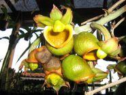 Catasetum apolloi female