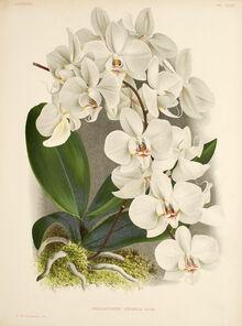 Phalaenopsis amabilis plate.jpg