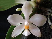 Phalaenopsis micholitzii.jpg