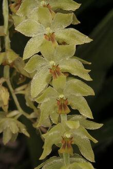 Dendrochilum uncatum.jpg