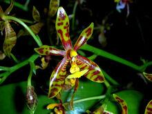 Phalaenopsis mannii.jpg