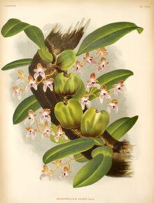Bulbophyllum anceps plate.jpg