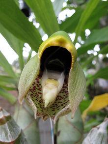 Catasetum macrocarpum.jpg