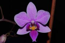 Phalaenopsis veitchiana.jpg
