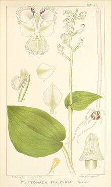 Huttonaea pulchra print.jpg