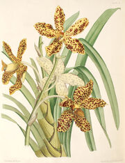 Grammatophyllum speciosum.jpg