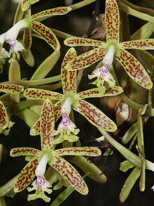 Epidendrum stamfordianum.jpg