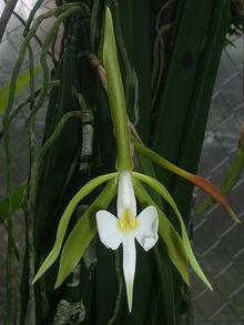 Epidendrum parkinsonianum.jpg