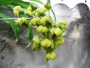 Catasetum albuquerque inflorescence