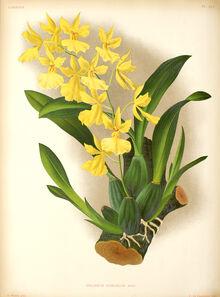 Oncidium concolor plate.jpg