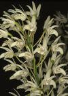 Dendrobium speciosum curvicaule.jpg