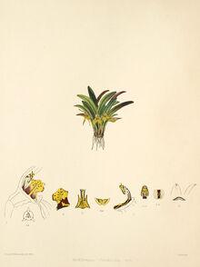 Dryadella obrieniana plate.jpg