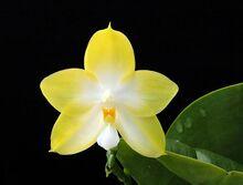 Phalaenopsis Buena Jewel.jpg