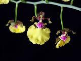Oncidium spilopterum