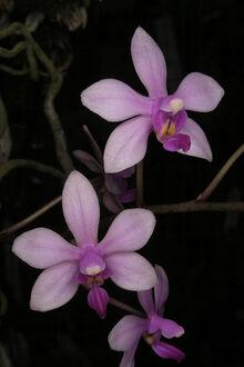 Phalaenopsis stobartiana cindy.jpg
