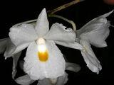 Dendrobium montanum