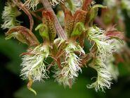 Catasetum barbatum 009