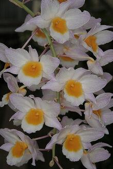 Dendrobium farmeri.jpg