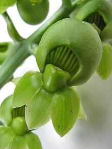 Catasetum macrocarpum female.jpg