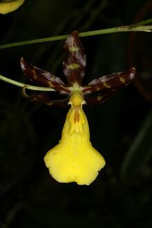 Oncidium graminifolium.jpg